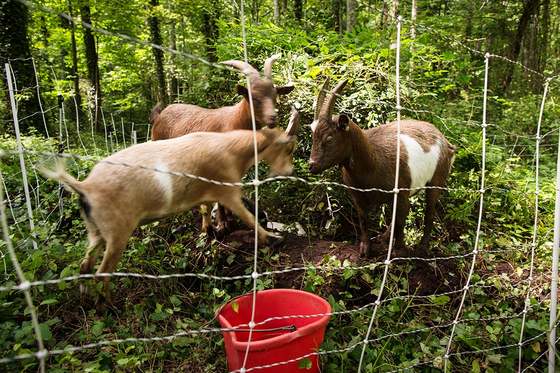 Goats inside a fence eating brush and leaves.