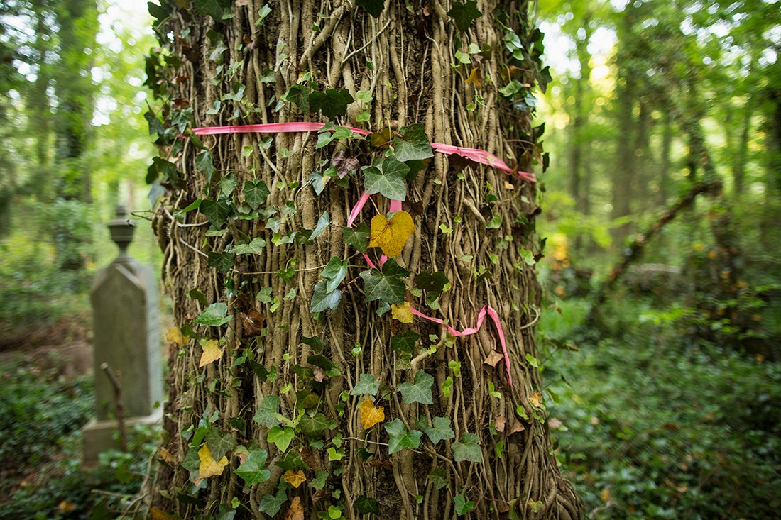 Pink flagging tape and green ivy encircling a tree.